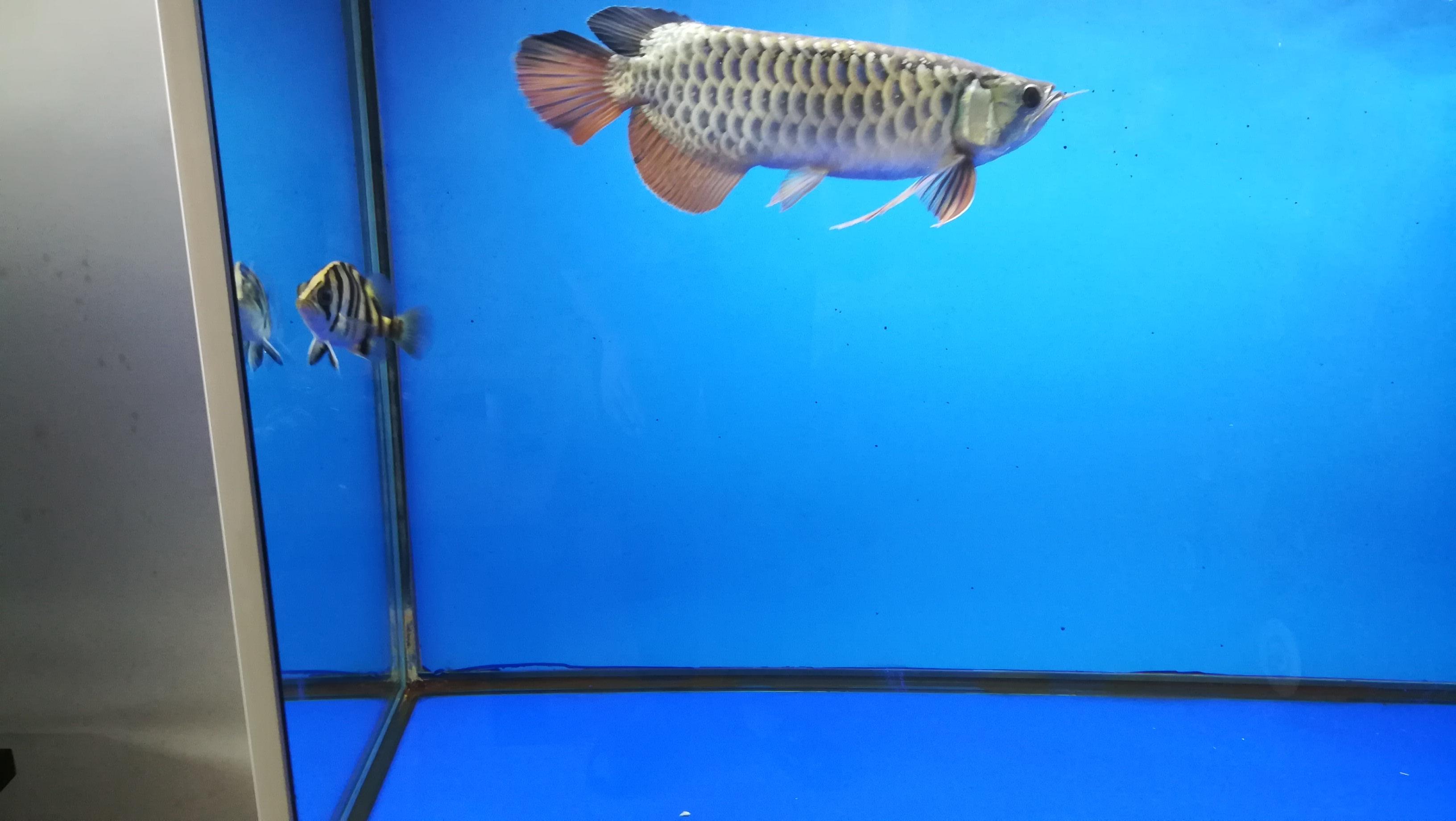 龙鱼的新伙伴小黑虎 湖州水族批发市场 湖州水族批发市场第6张