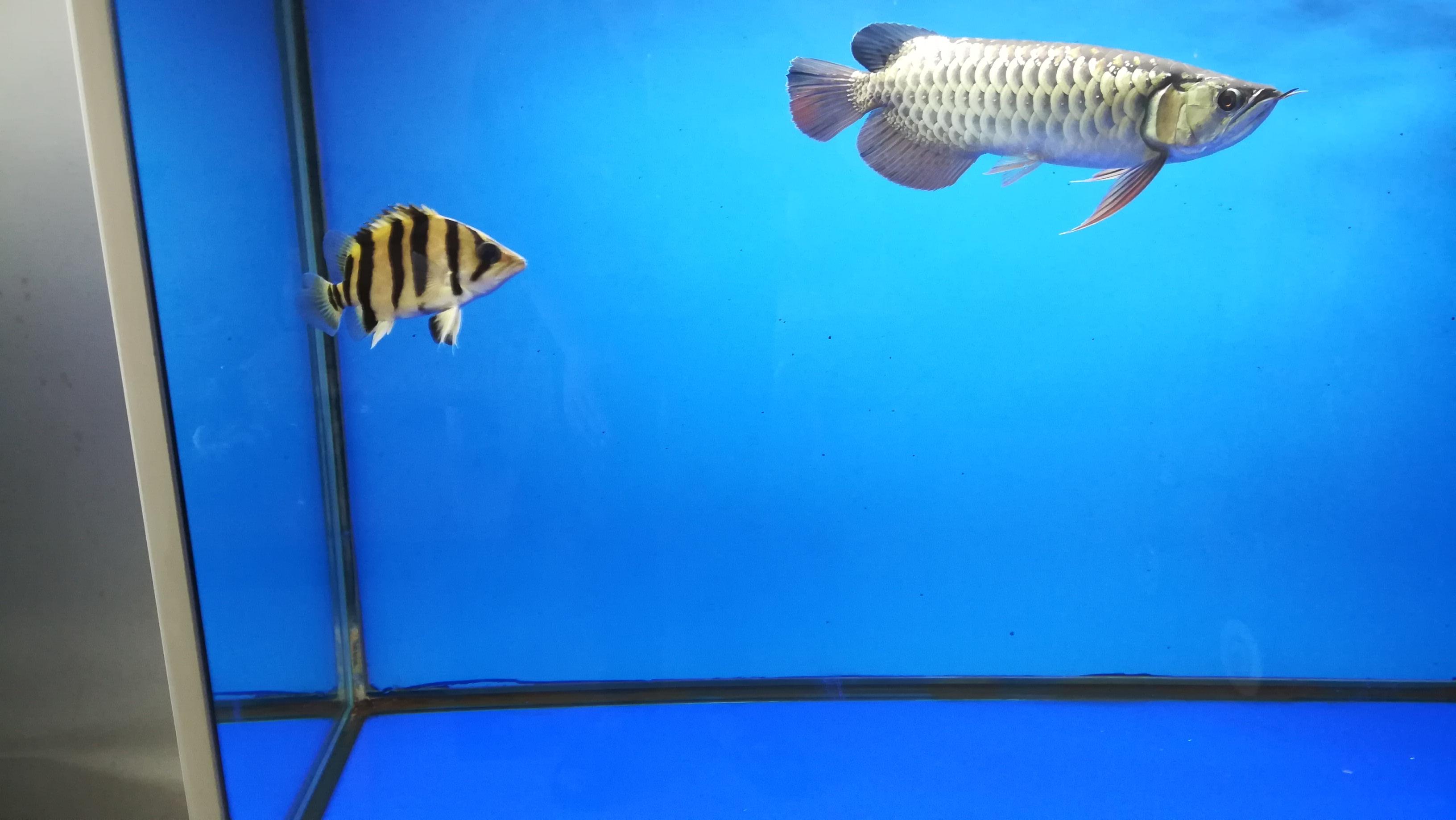 龙鱼的新伙伴小黑虎 湖州水族批发市场 湖州水族批发市场第9张
