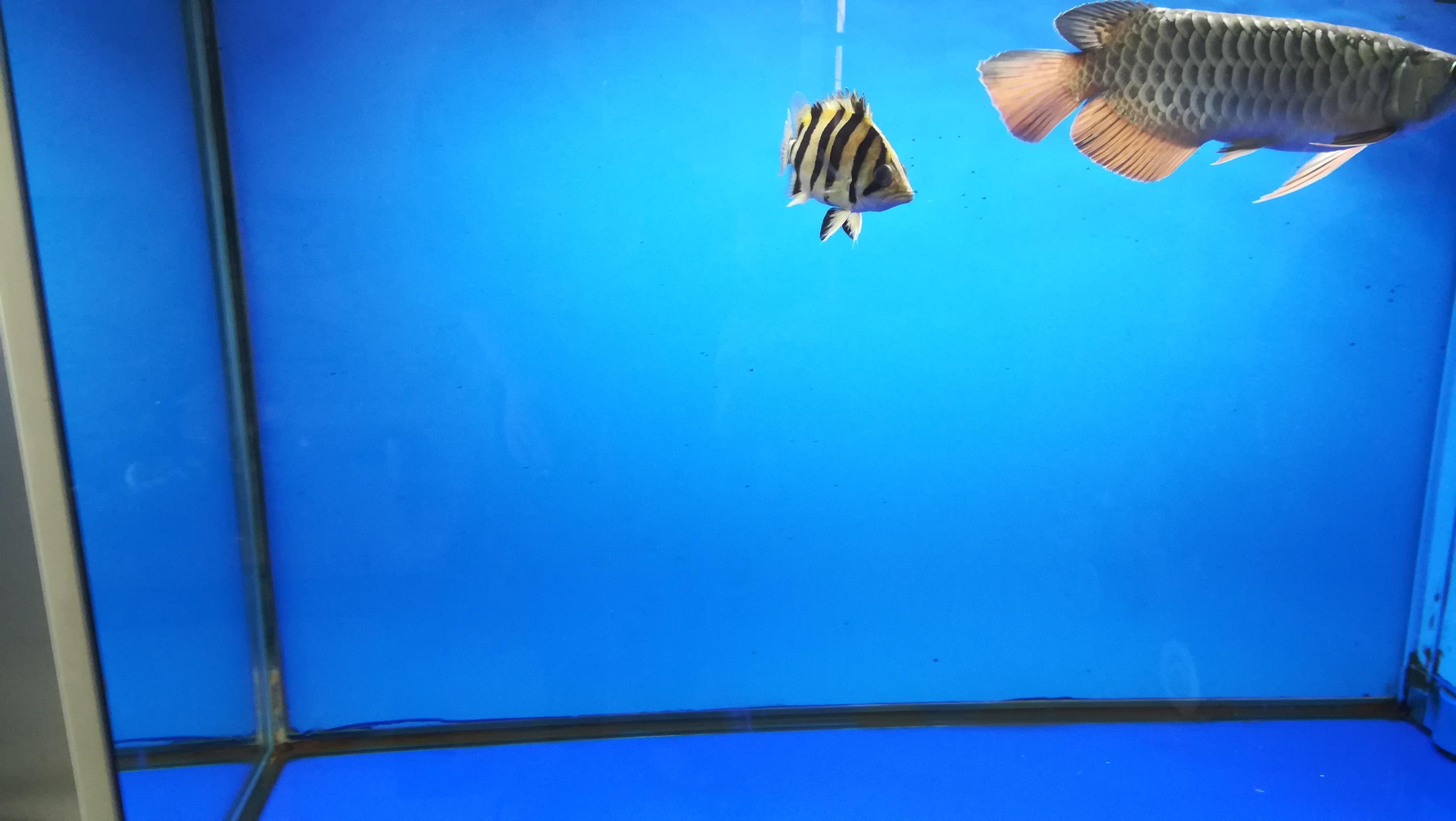 龙鱼的新伙伴小黑虎 湖州水族批发市场 湖州水族批发市场第8张