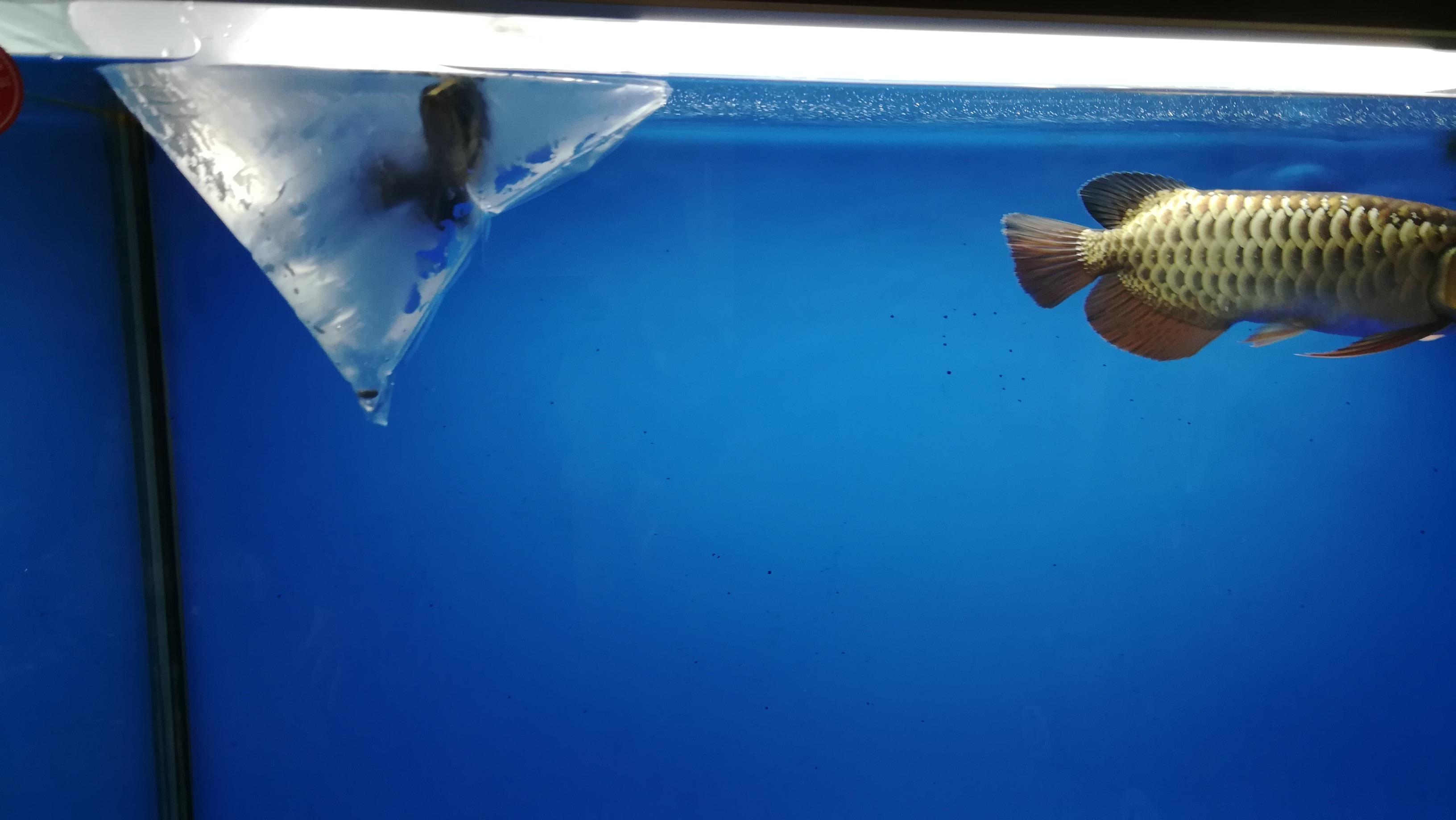 龙鱼的新伙伴小黑虎 湖州水族批发市场 湖州水族批发市场第5张