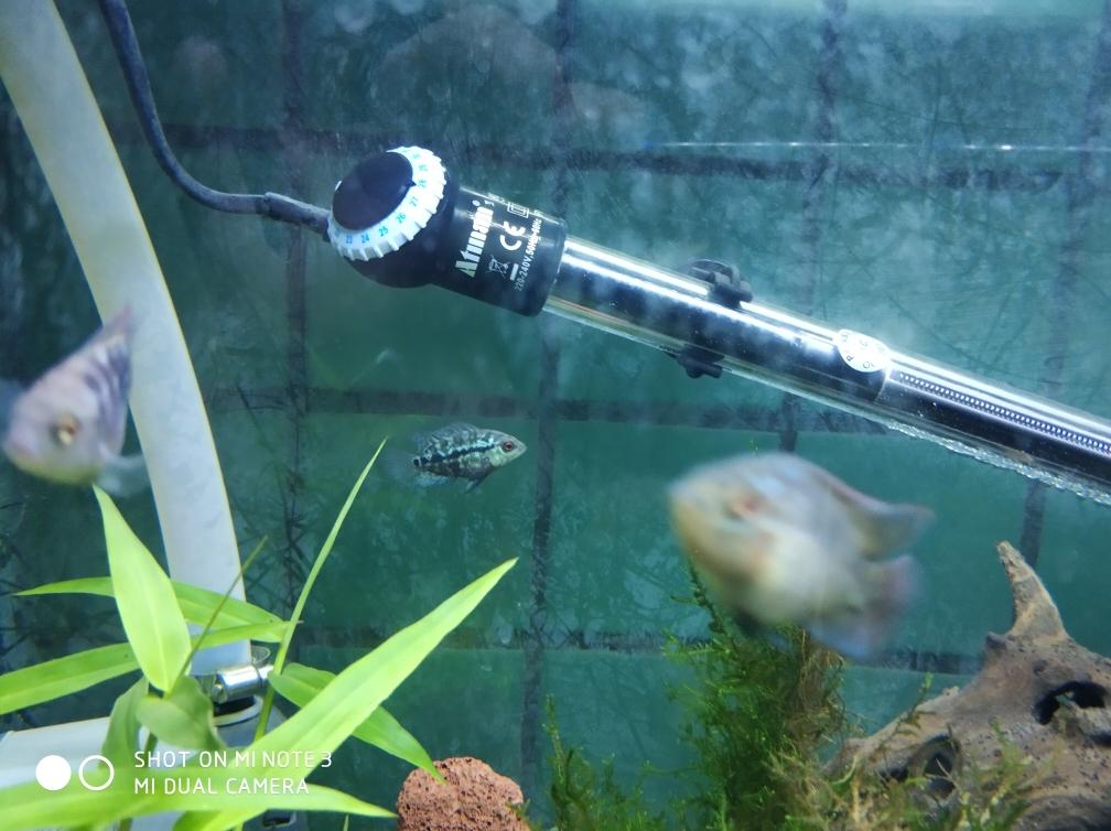 开始养苗旅程罗汉鱼 合肥龙鱼论坛 合肥龙鱼第2张