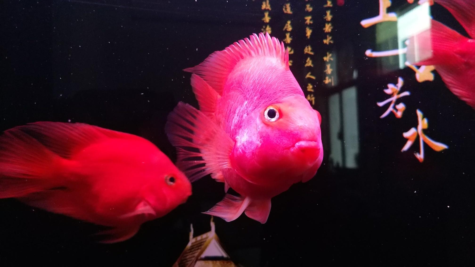 新添红白鹦鹉鱼 合肥观赏鱼 合肥龙鱼第6张
