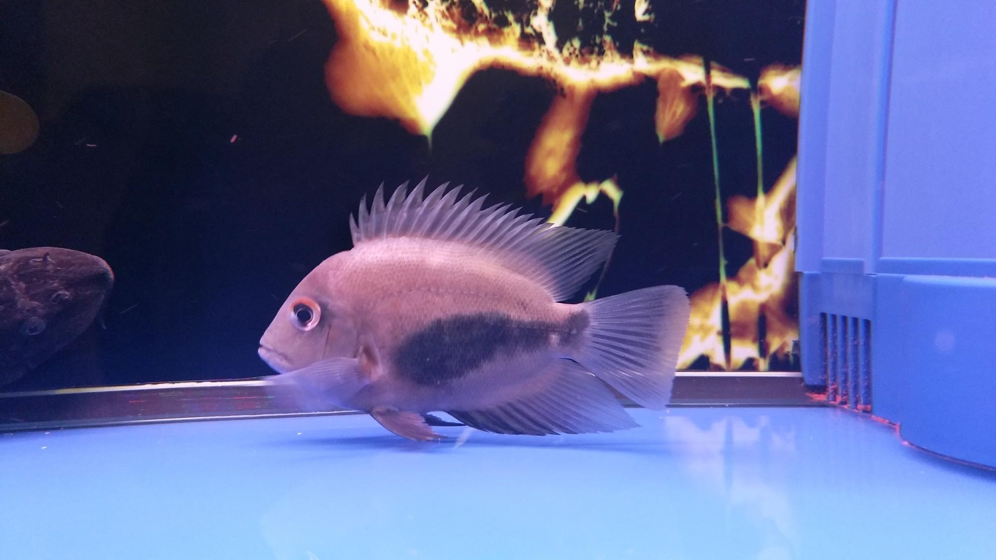 新添红白鹦鹉鱼 合肥观赏鱼 合肥龙鱼第9张