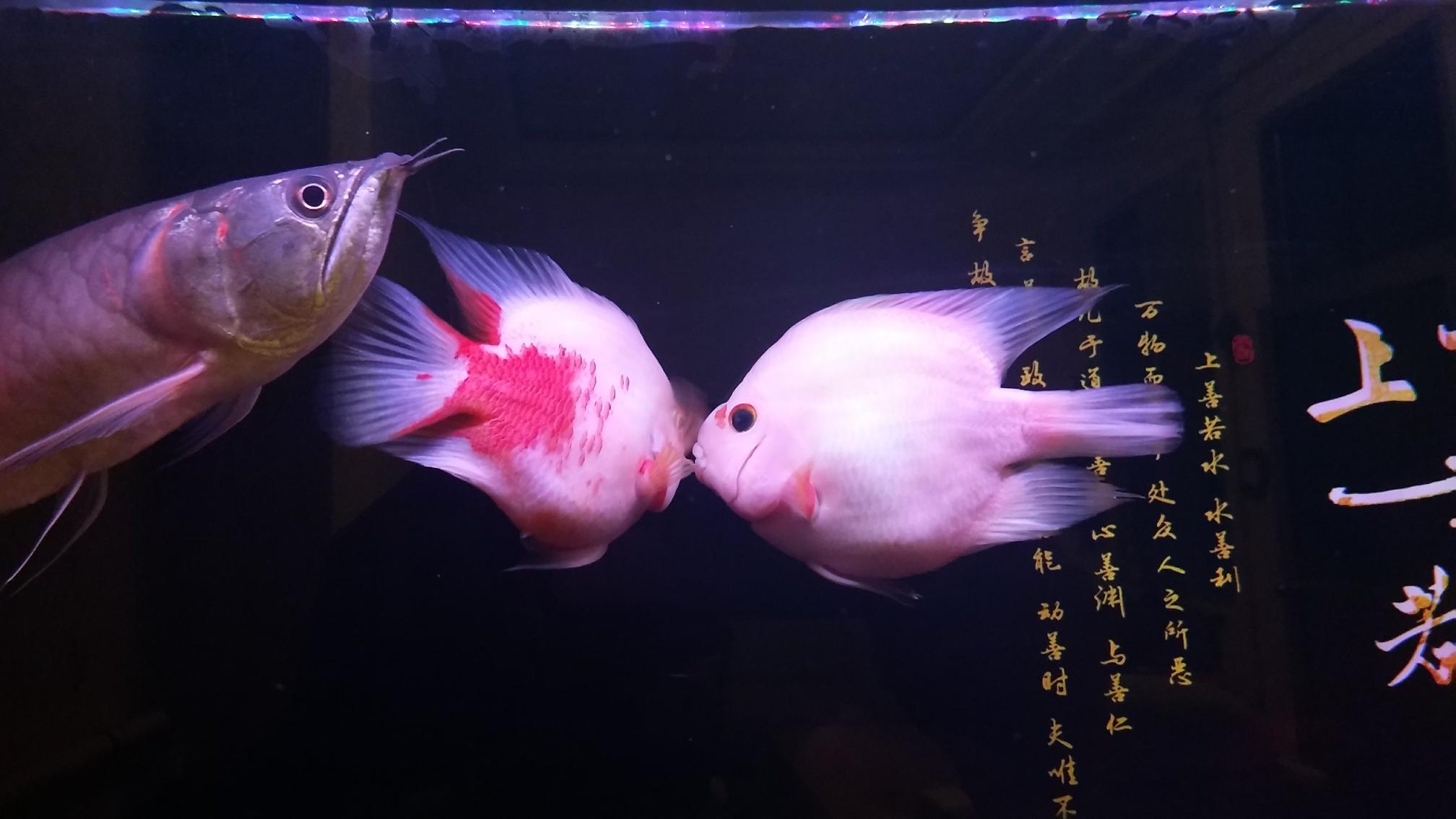 新添红白鹦鹉鱼 合肥观赏鱼 合肥龙鱼第8张