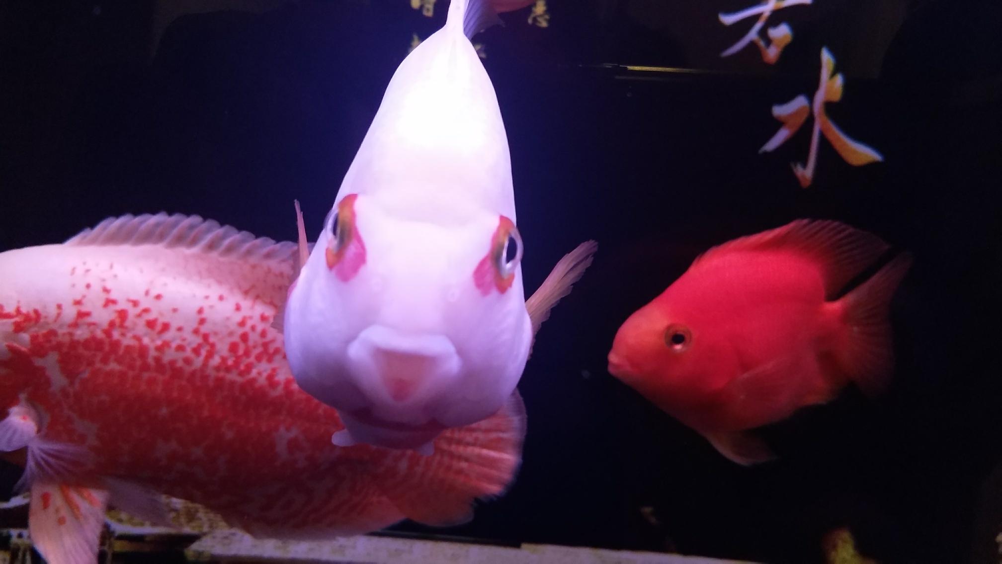 新添红白鹦鹉鱼 合肥观赏鱼 合肥龙鱼第1张