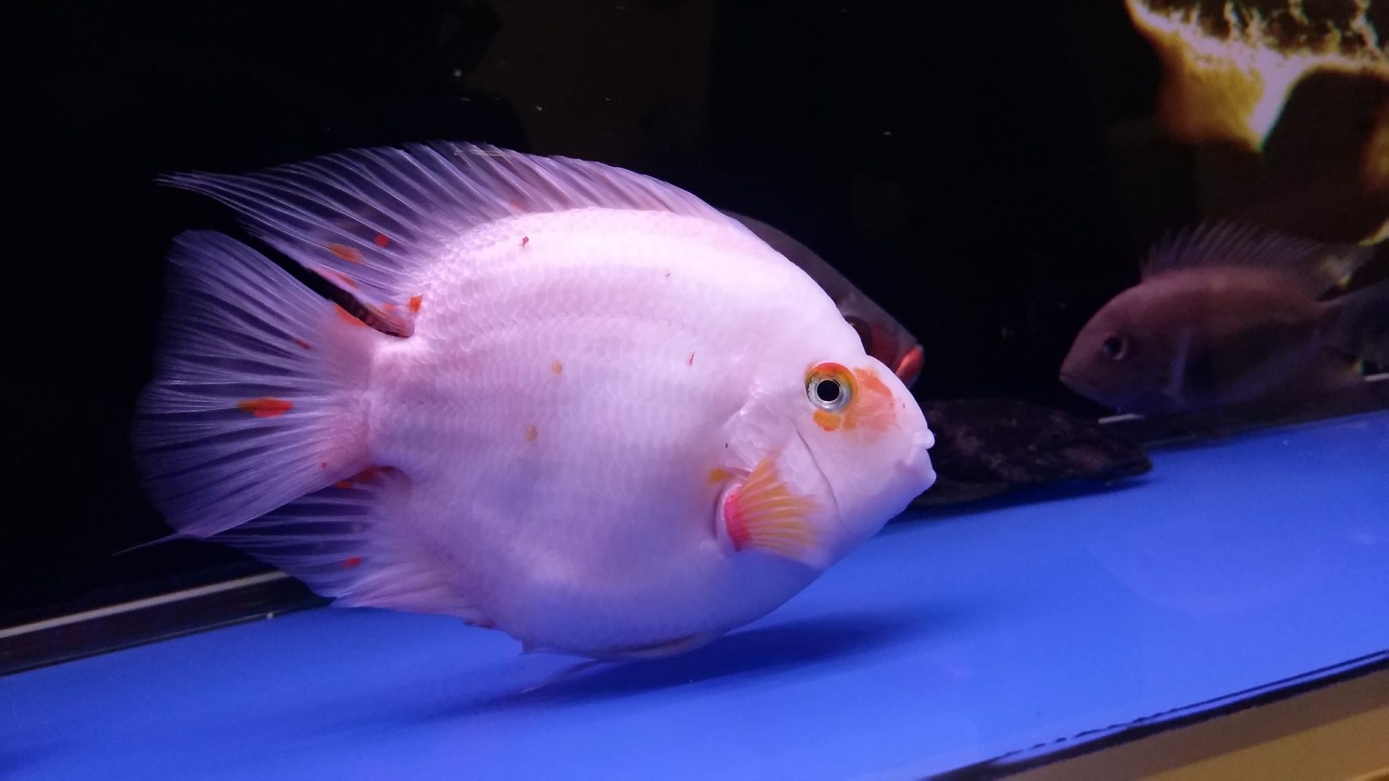 新添红白鹦鹉鱼 合肥观赏鱼 合肥龙鱼第4张