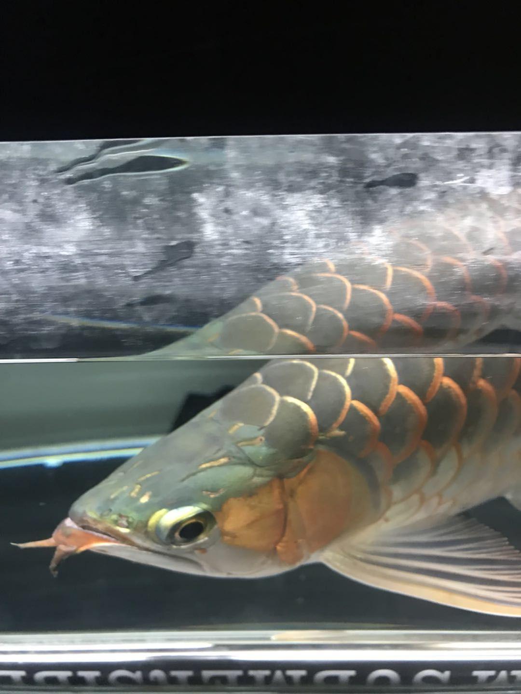 防毒时间龙鱼 合肥龙鱼论坛 合肥龙鱼第2张