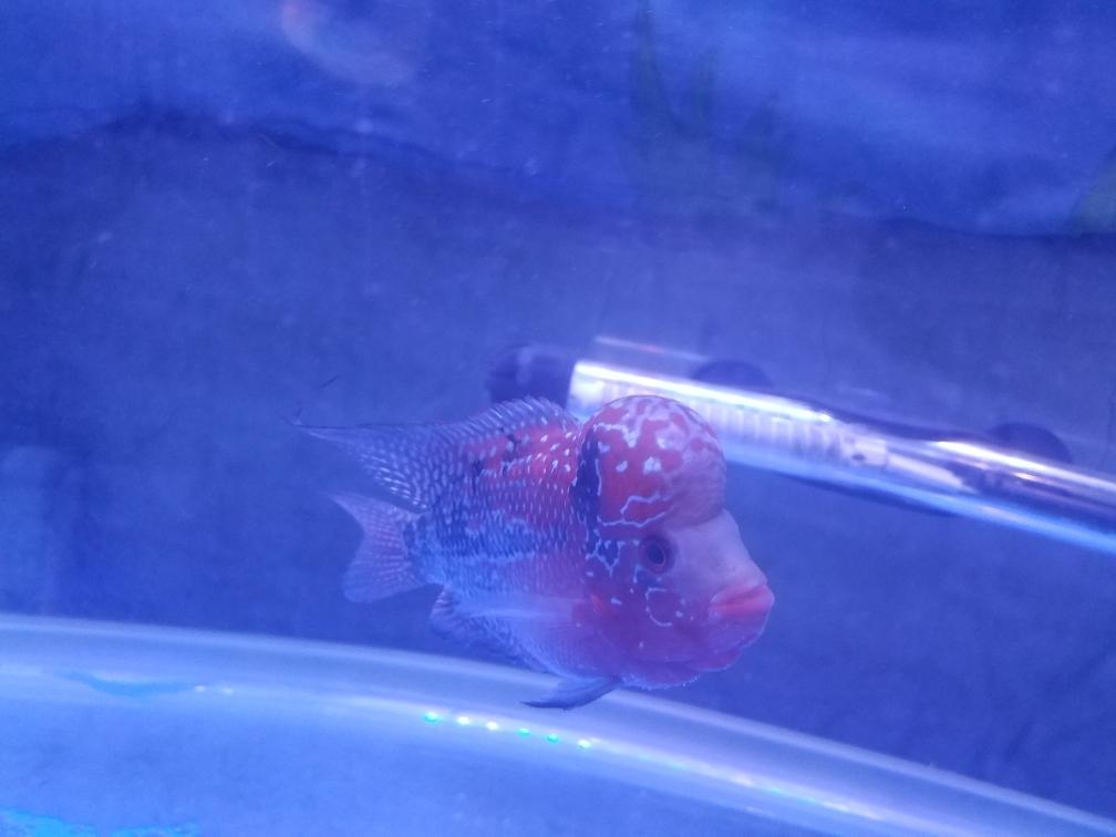 新手第一只罗有啥需要注意的么求大神指 乌鲁木齐龙鱼论坛 乌鲁木齐龙鱼第1张