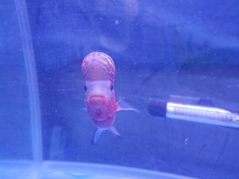 新手第一只罗有啥需要注意的么求大神指 乌鲁木齐龙鱼论坛 乌鲁木齐龙鱼第2张