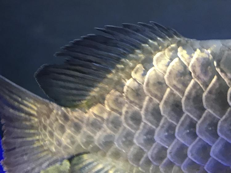 帮我看看这鱼的珠鳞是啥情况 榆林水族批发市场 榆林水族批发市场第6张