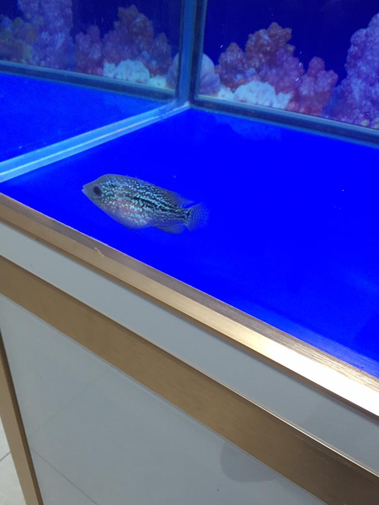 合肥亚克力鱼缸厂家吃多了罗汉鱼 合肥观赏鱼 合肥龙鱼第2张