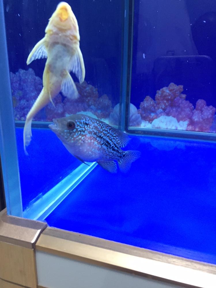 合肥亚克力鱼缸厂家吃多了罗汉鱼 合肥观赏鱼 合肥龙鱼第5张