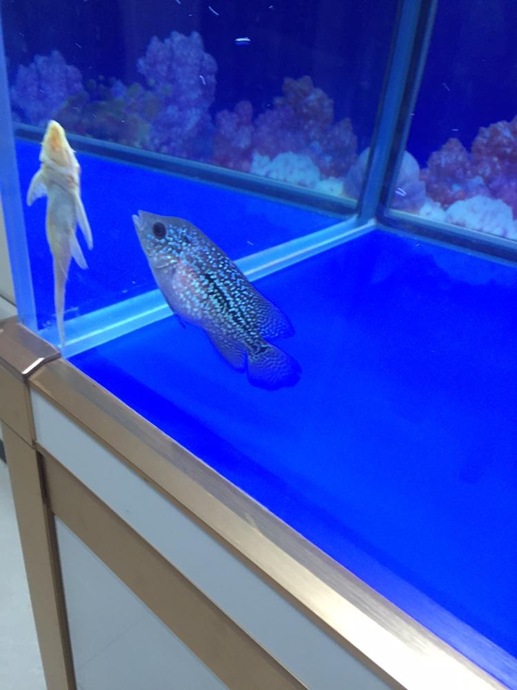 合肥亚克力鱼缸厂家吃多了罗汉鱼 合肥观赏鱼 合肥龙鱼第4张