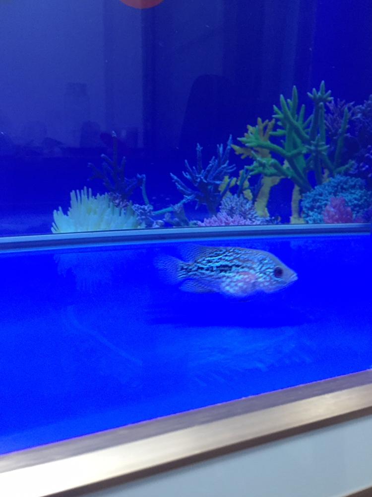 合肥亚克力鱼缸厂家吃多了罗汉鱼 合肥观赏鱼 合肥龙鱼第6张
