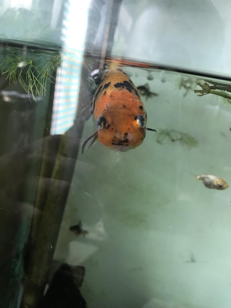 新人能发贴么 西安观赏鱼信息 西安博特第4张