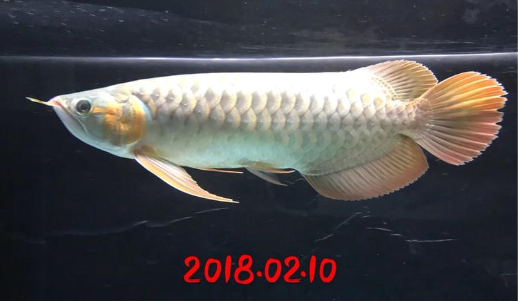 红沈阳鱼缸定制龙成长史龙鱼 沈阳水族批发市场 沈阳龙鱼第5张