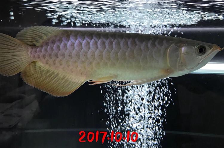 红沈阳鱼缸定制龙成长史龙鱼 沈阳水族批发市场 沈阳龙鱼第1张