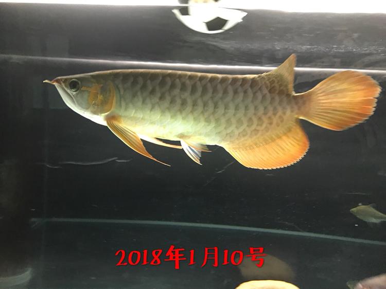 红沈阳鱼缸定制龙成长史龙鱼 沈阳水族批发市场 沈阳龙鱼第4张