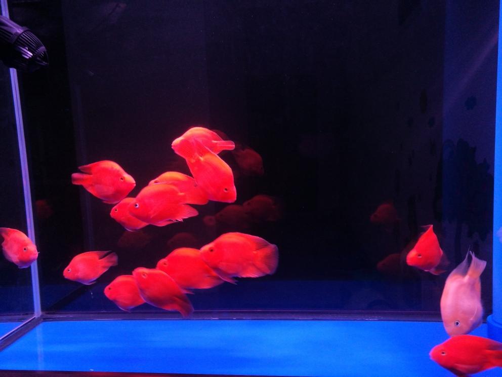 越来越活跃鹦鹉鱼 沈阳龙鱼论坛