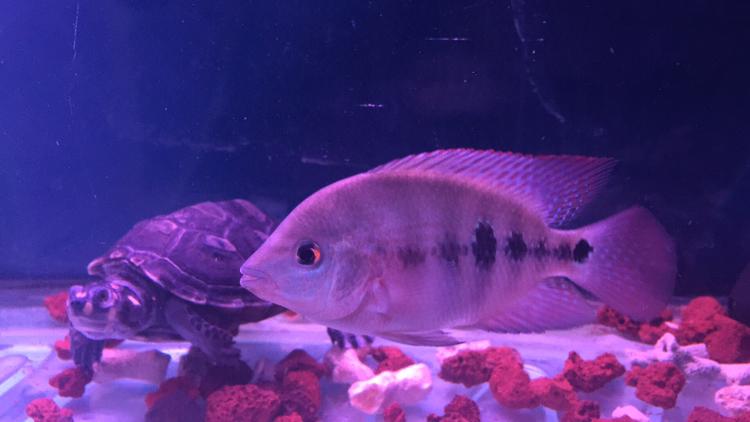 就这两条了罗汉鱼 贵阳水族批发市场 贵阳龙鱼第2张