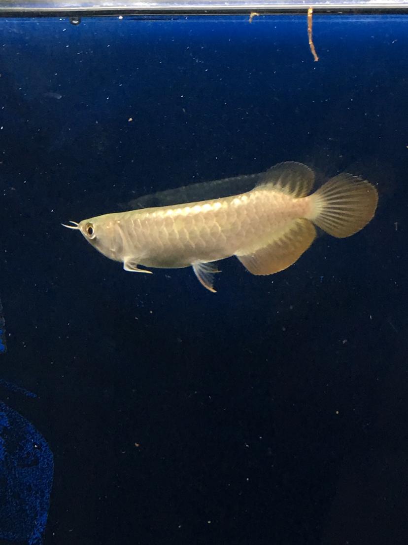新请一尾长沙大型水族帮看看 长沙观赏鱼 长沙龙鱼第2张