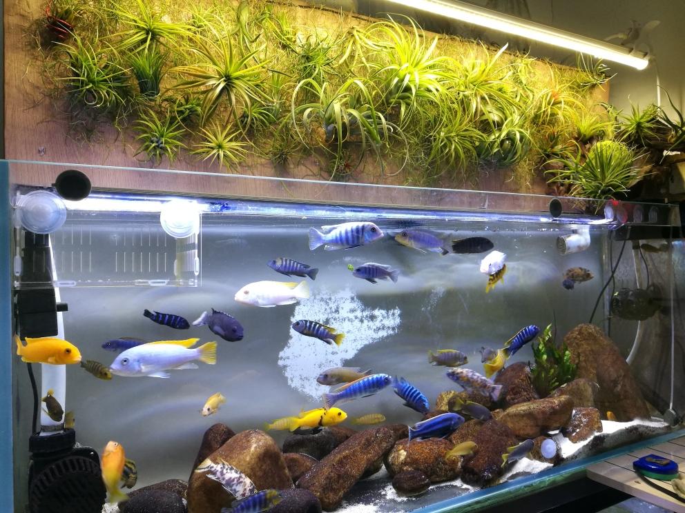 滴流很难看吗三湖慈鲷 哈尔滨水族批发市场 哈尔滨龙鱼第1张
