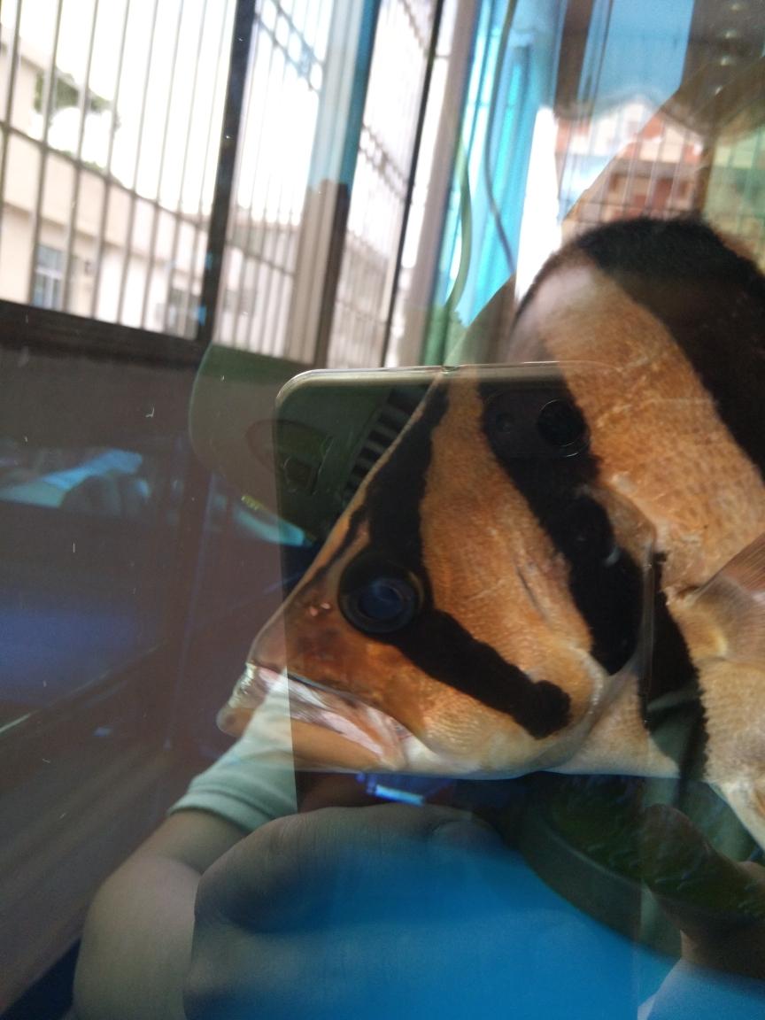 长沙观赏鱼市场虎鱼嘴巴缩不回来 长沙观赏鱼 长沙龙鱼第1张