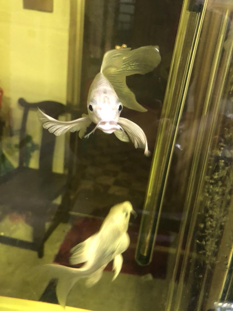 鱼嘴怎么了锦鲤