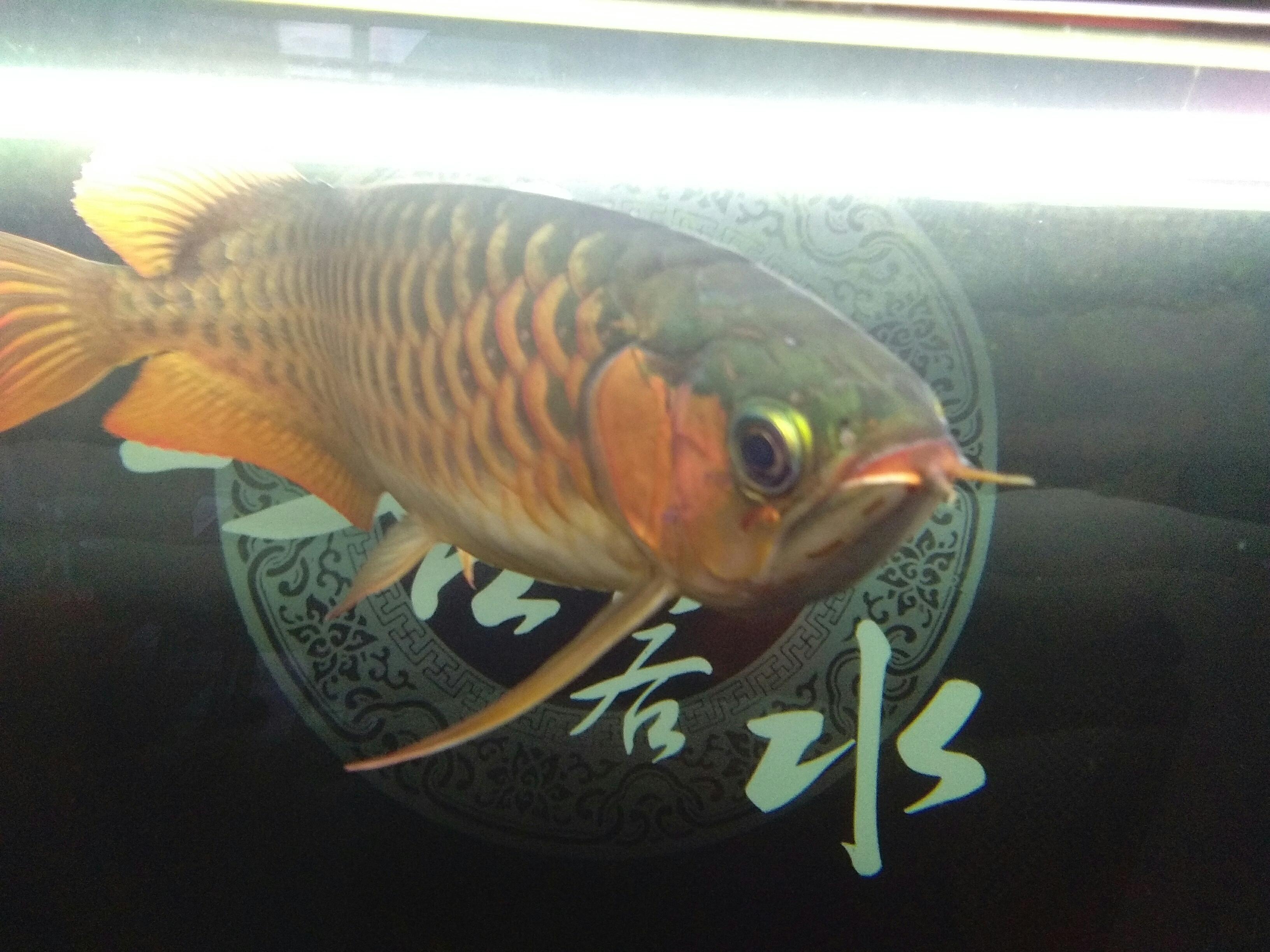 天津鱼缸水族批发市场有相中的密我没精力了 天津龙鱼论坛 天津龙鱼第4张