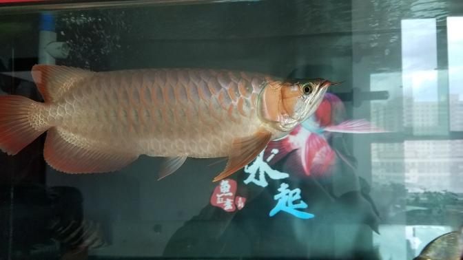 到底是什么类型?三无又慢慢继续上色了 温州水族批发市场 温州龙鱼第3张