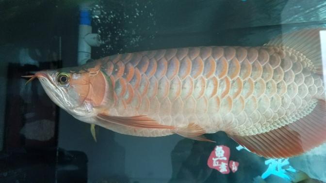 到底是什么类型?三无又慢慢继续上色了 温州水族批发市场 温州龙鱼第2张