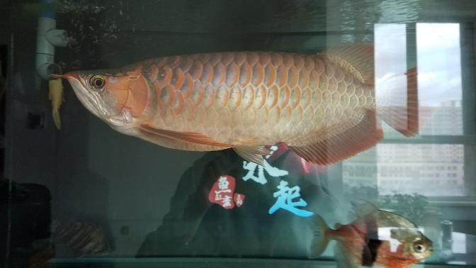 到底是什么类型?三无又慢慢继续上色了 温州水族批发市场 温州龙鱼第5张