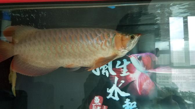 到底是什么类型?三无又慢慢继续上色了 温州水族批发市场 温州龙鱼第6张