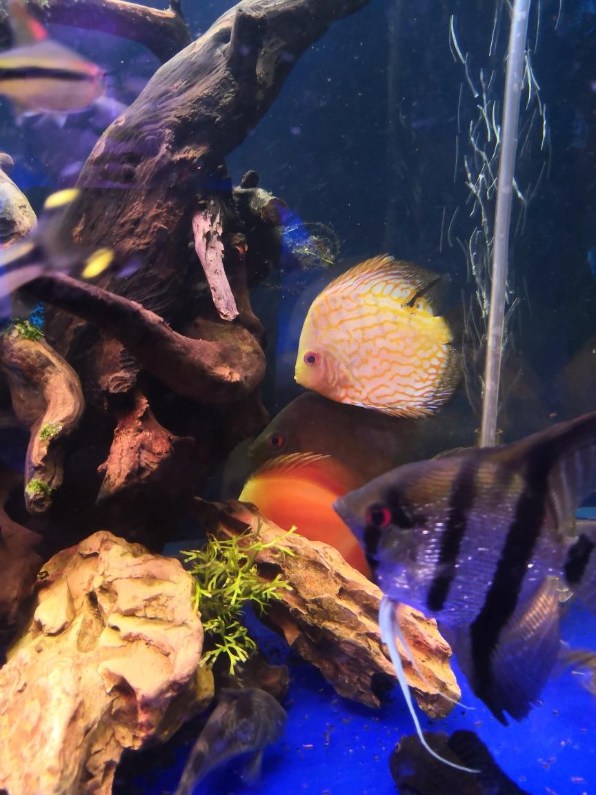 14天静心神仙鱼 西宁观赏鱼 西宁龙鱼第4张