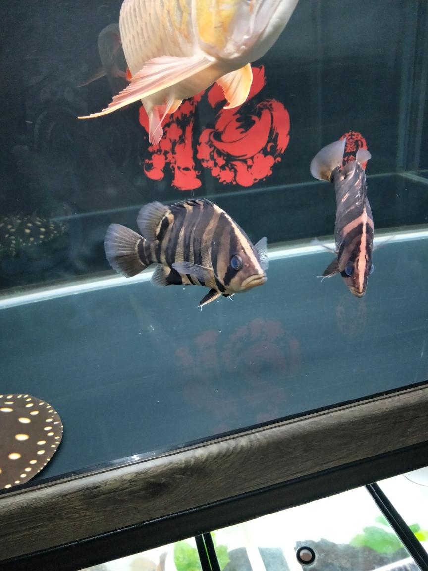 终于有点虎的模样了 合肥观赏鱼