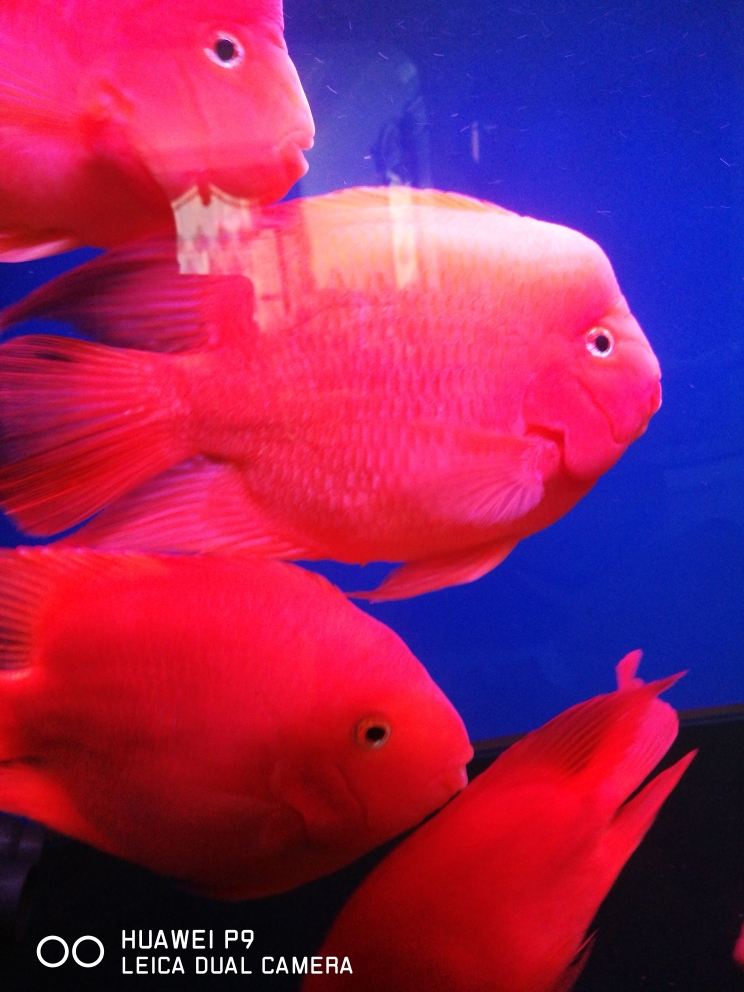 起床喂鱼一天好心情 济南观赏鱼 济南龙鱼第1张