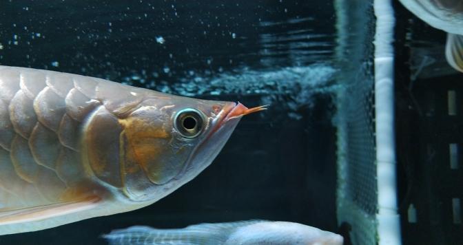 挑食的最好办法 长沙观赏鱼 长沙龙鱼第6张
