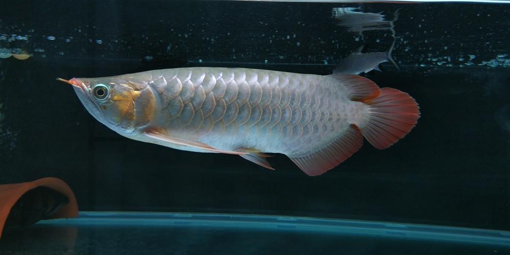 挑食的最好办法 长沙观赏鱼 长沙龙鱼第4张