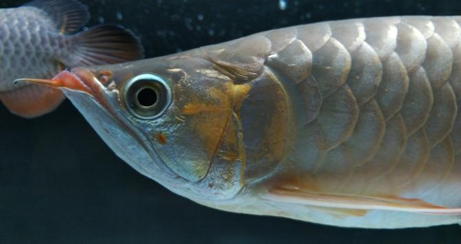 挑食的最好办法 长沙观赏鱼 长沙龙鱼第9张