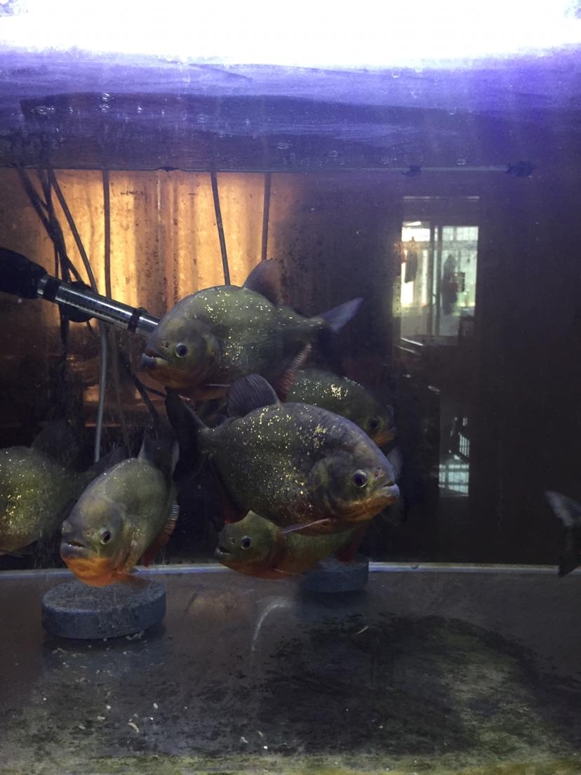 银龙鱼吃什么养腻了