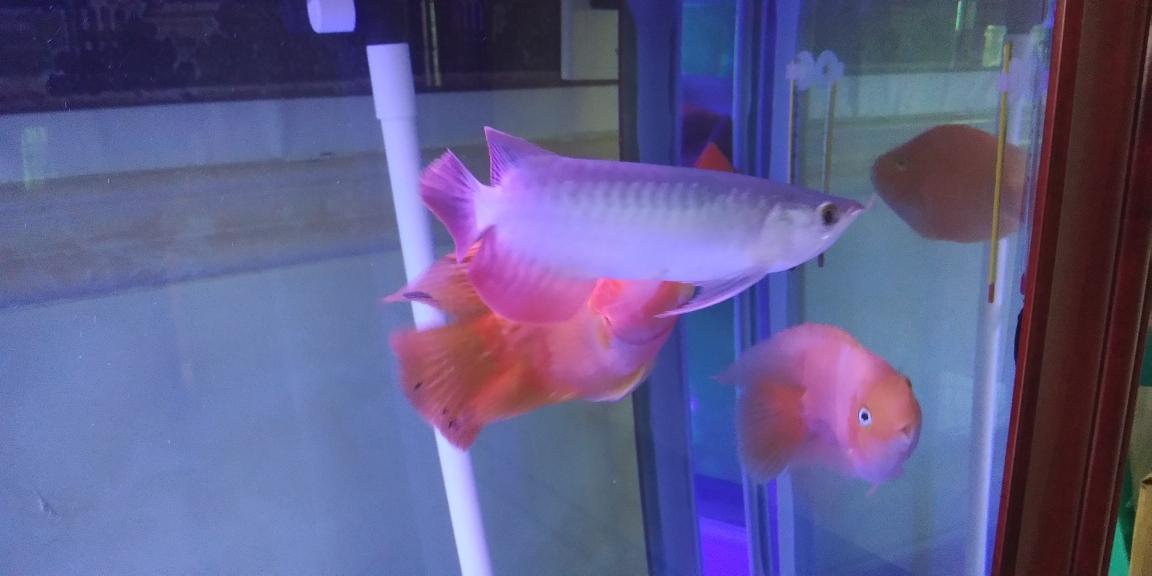 18年06月14日 23公分刚下缸 西宁观赏鱼 西宁龙鱼第2张