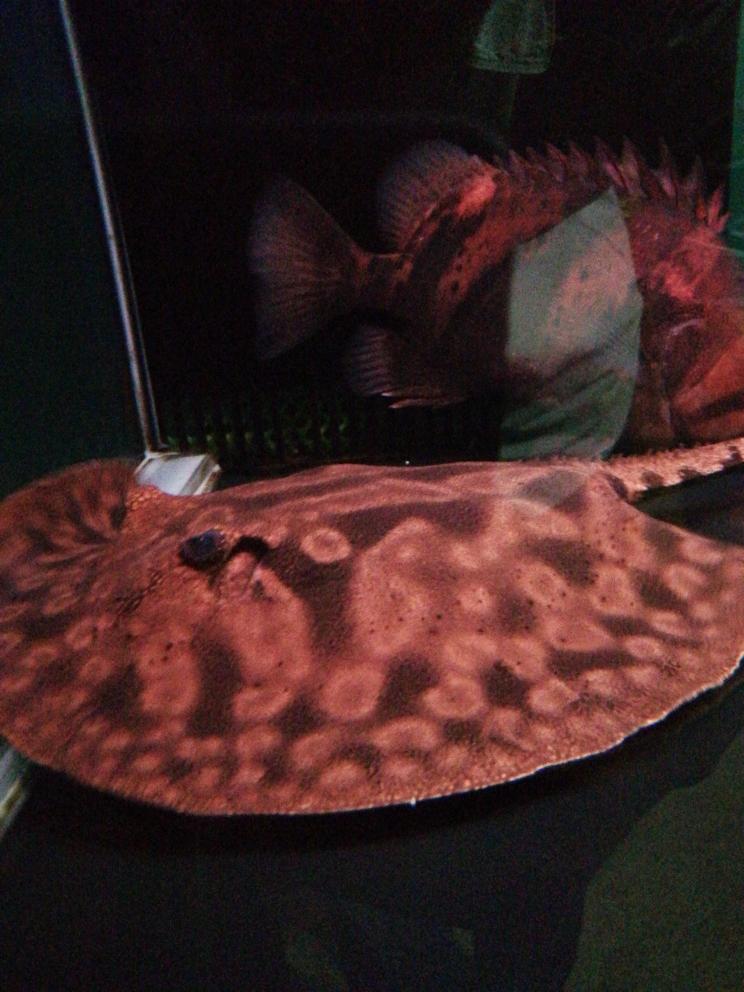 一对魟鱼加五只印尼虎 太原观赏鱼 太原龙鱼第2张