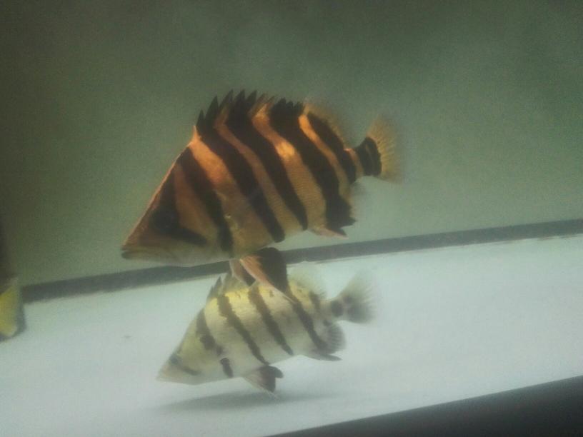红铜 黄铜 白银 黄金 乌鲁木齐龙鱼论坛 乌鲁木齐龙鱼第2张