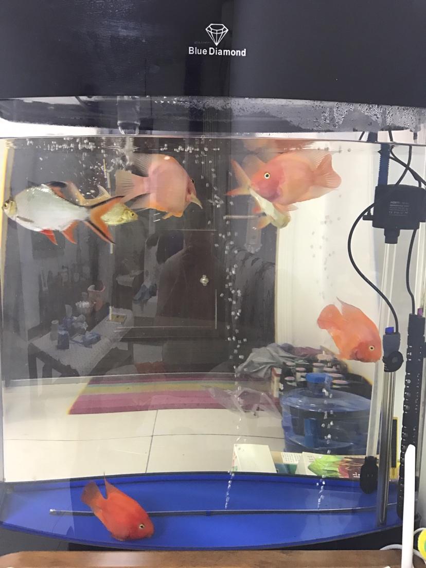 台州哪个水族市场便宜新人发帖鹦鹉鱼养不好愁 台州水族批发市场 台州水族批发市场第2张