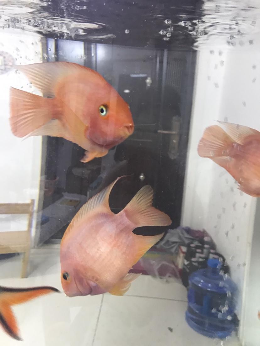 台州哪个水族市场便宜新人发帖鹦鹉鱼养不好愁 台州水族批发市场 台州水族批发市场第7张