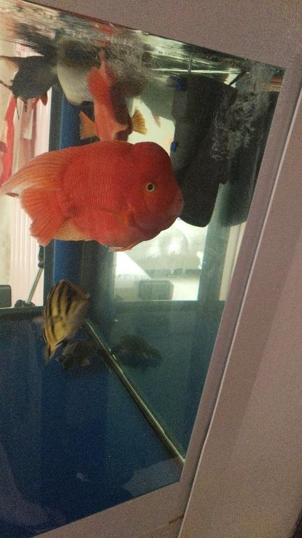 延安观赏鱼各位鱼友早鹦鹉鱼 延安观赏鱼