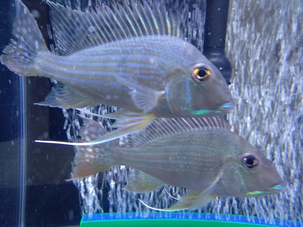 哥两好两只小关刀 温州龙鱼论坛 温州龙鱼第4张