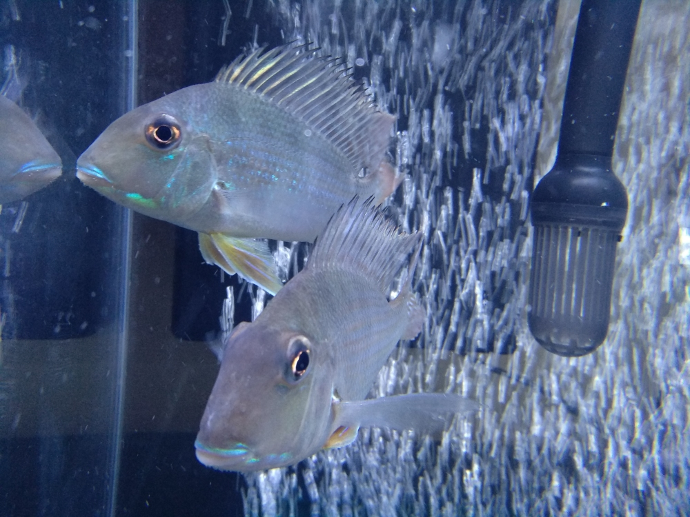 哥两好两只小关刀 温州龙鱼论坛 温州龙鱼第2张