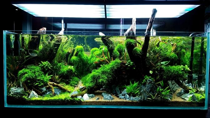 烟台红龙鱼一米二草缸养成 烟台龙鱼论坛