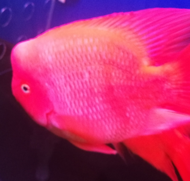 早上好晒晒我的红财神 西安龙鱼论坛 西安博特第3张
